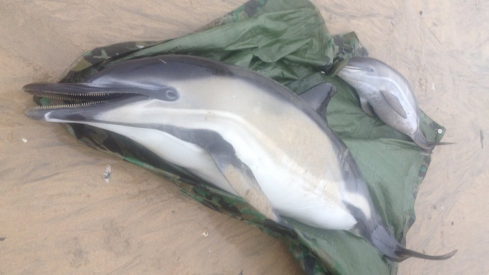 Three dolphins dead after mass stranding in Cornwall