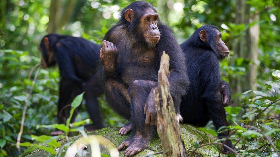 مجموعة من قردة الشمبانزي