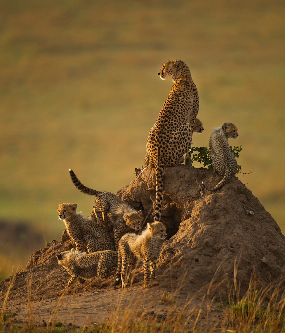 Odrasli gepardi s mladuncima