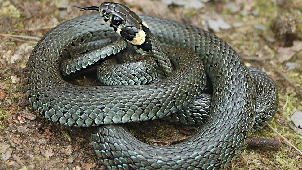 The common or eastern grass snake (Natrix natrix)