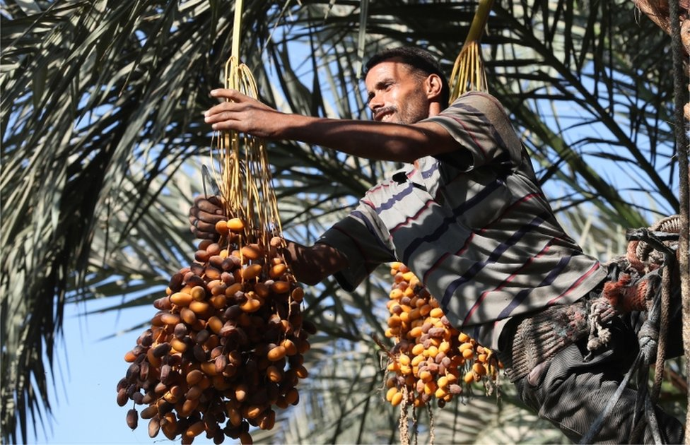 A farm worker climbs a palm tree to pick dates during the annual harvest season in Dahshour village, Giza, Egypt.