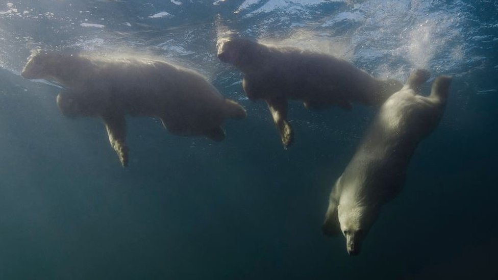 Foto de osos polares