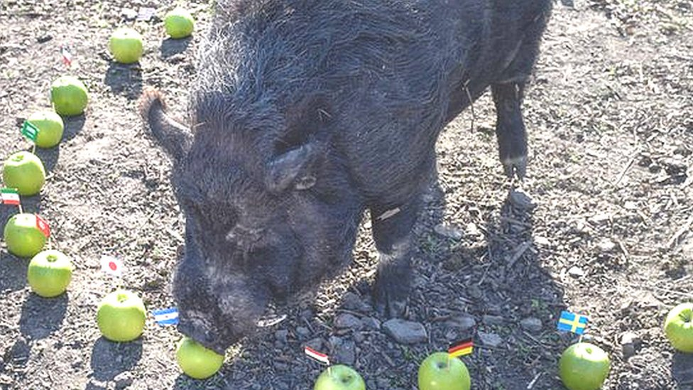 World Cup 2018: Mystic micro pig chooses semi-finalists