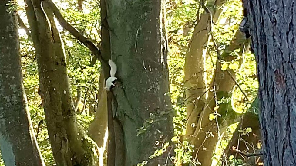White red squirrel