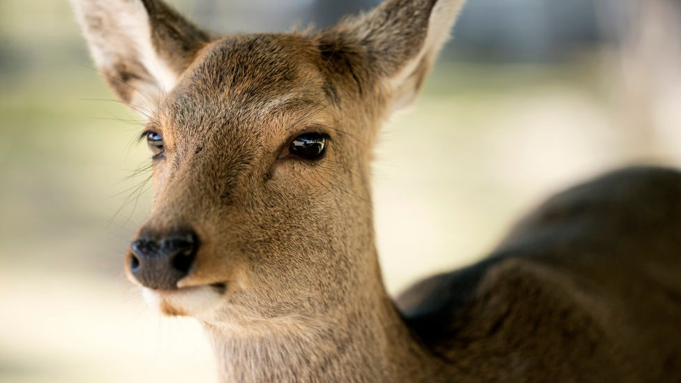 A sika deer stands on March 12, 2020 in Nara, Japan.