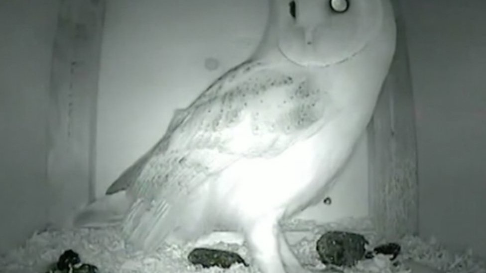Can nest boxes save Britain's barn owls?