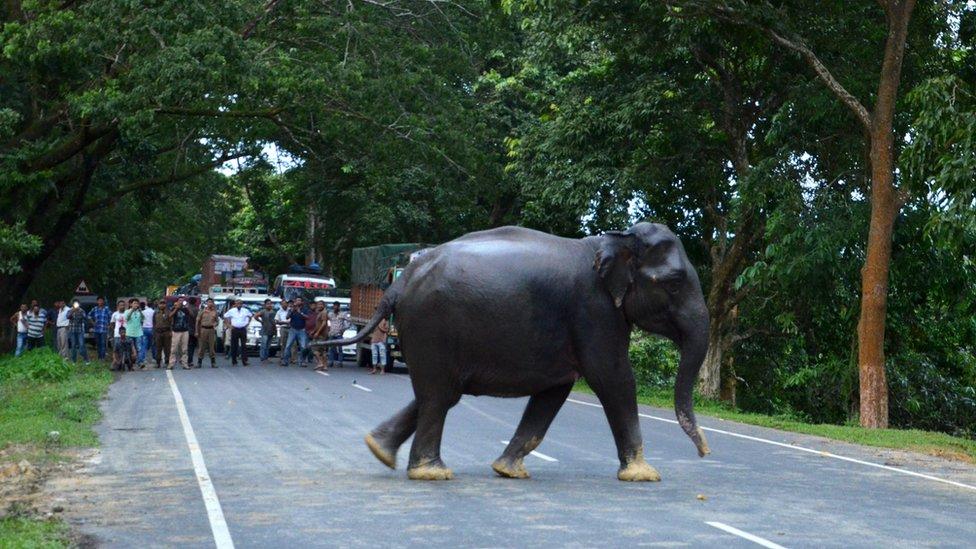 Gajah liar di jalan raya India yang menyelamatkan diri akibat banjir di Assam, India.
