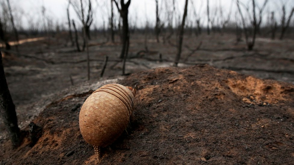Armadillo blinded by fire in a Brazilian conservation area, where wildfires have destroyed hectares of forest, 26 August 2019