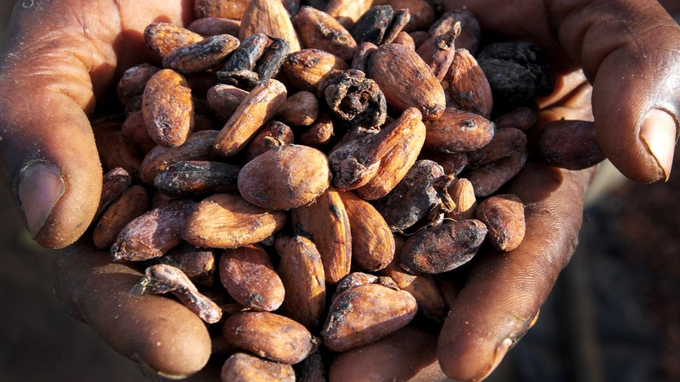 A hand holding cocoa beans
