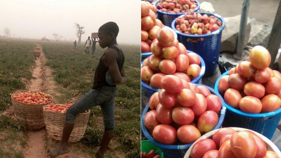 Tomato farm in Nigeria