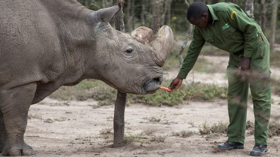 A keeper in the Kenyan reserve feeds Sudan the rhino a carrot
