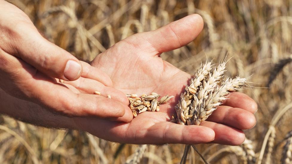 Manos de un hombre con espigas y granos de trigo