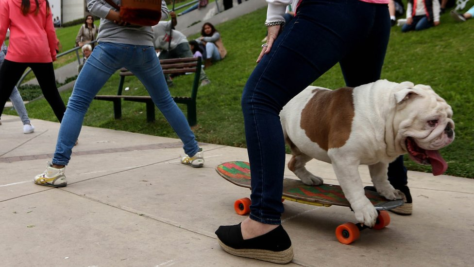 """Otto the bulldog setting the Guinness World Record for skateboarding through the """"longest human tunnel"""" in Lima, Peru"""