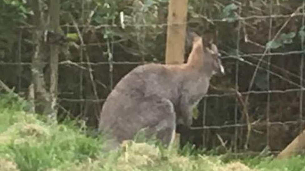Escaped Filey animal park wallaby found dead on roadside