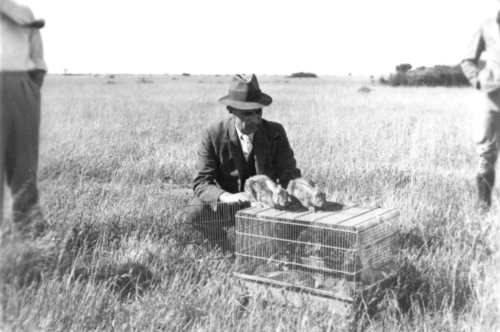 En esta imagen de 1937 se ve a un funcionario liberando a conejos infectados con mixomatosis en la primera prueba que se realizó en Wardang Island, Australia Meridional.