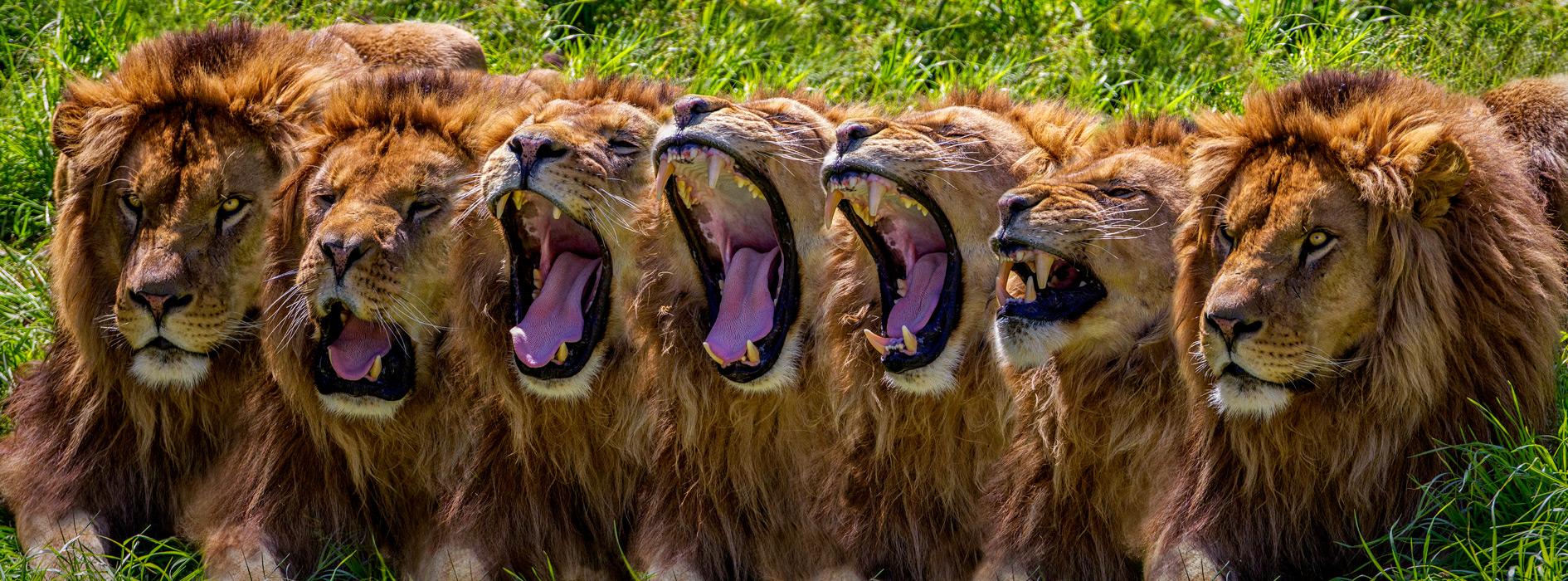 Secuencia que muestra el bostezo de un león