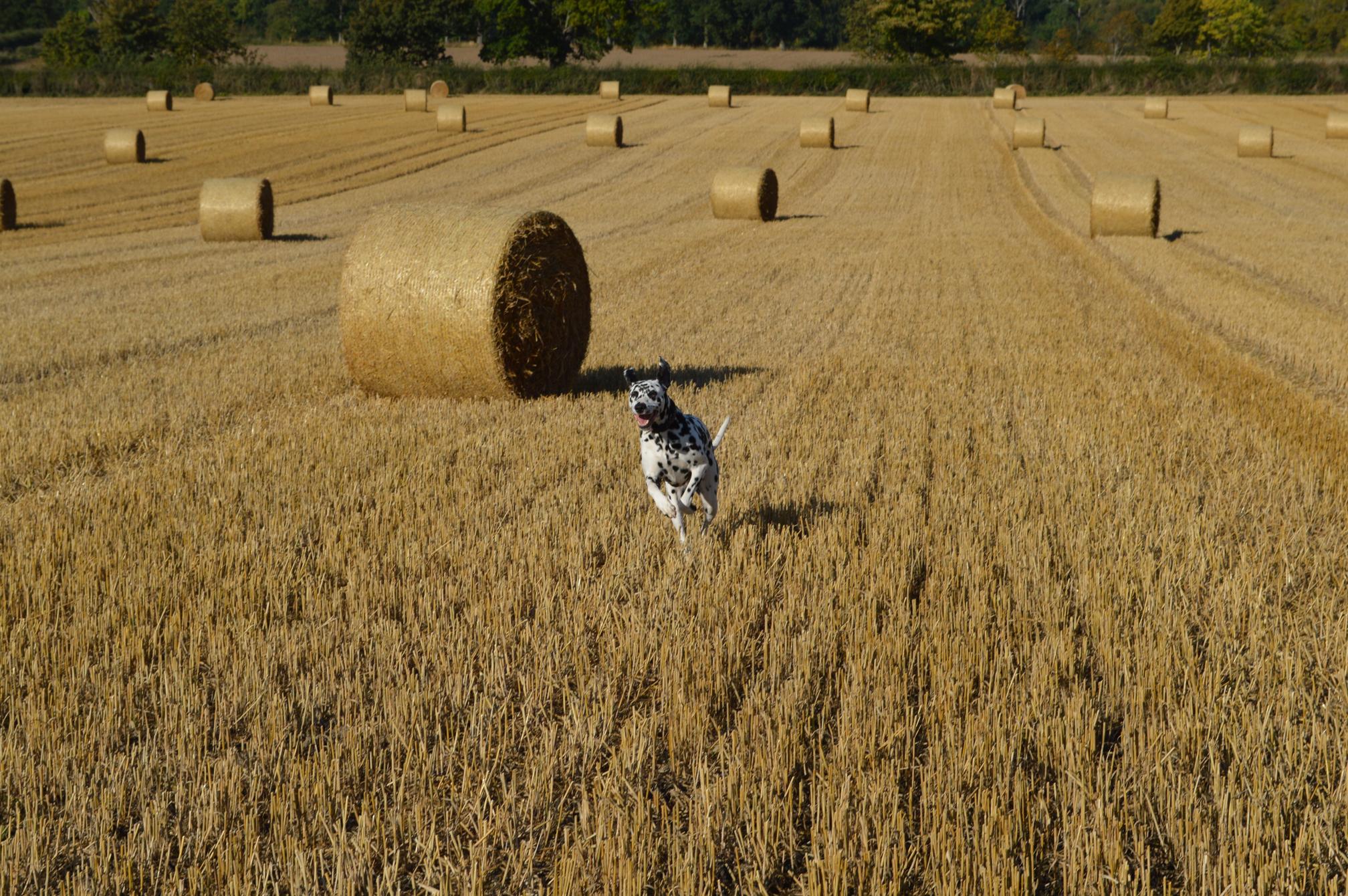 Dog and hay bales