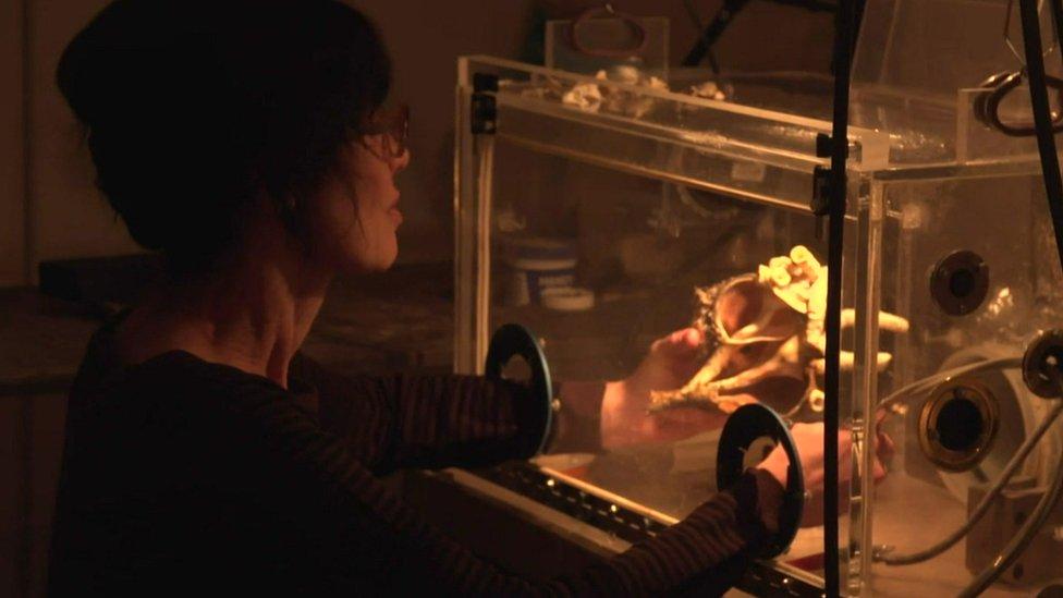 格恩瑟不得不採取保護措施,在一個透明的塑料箱內打磨貝殼。