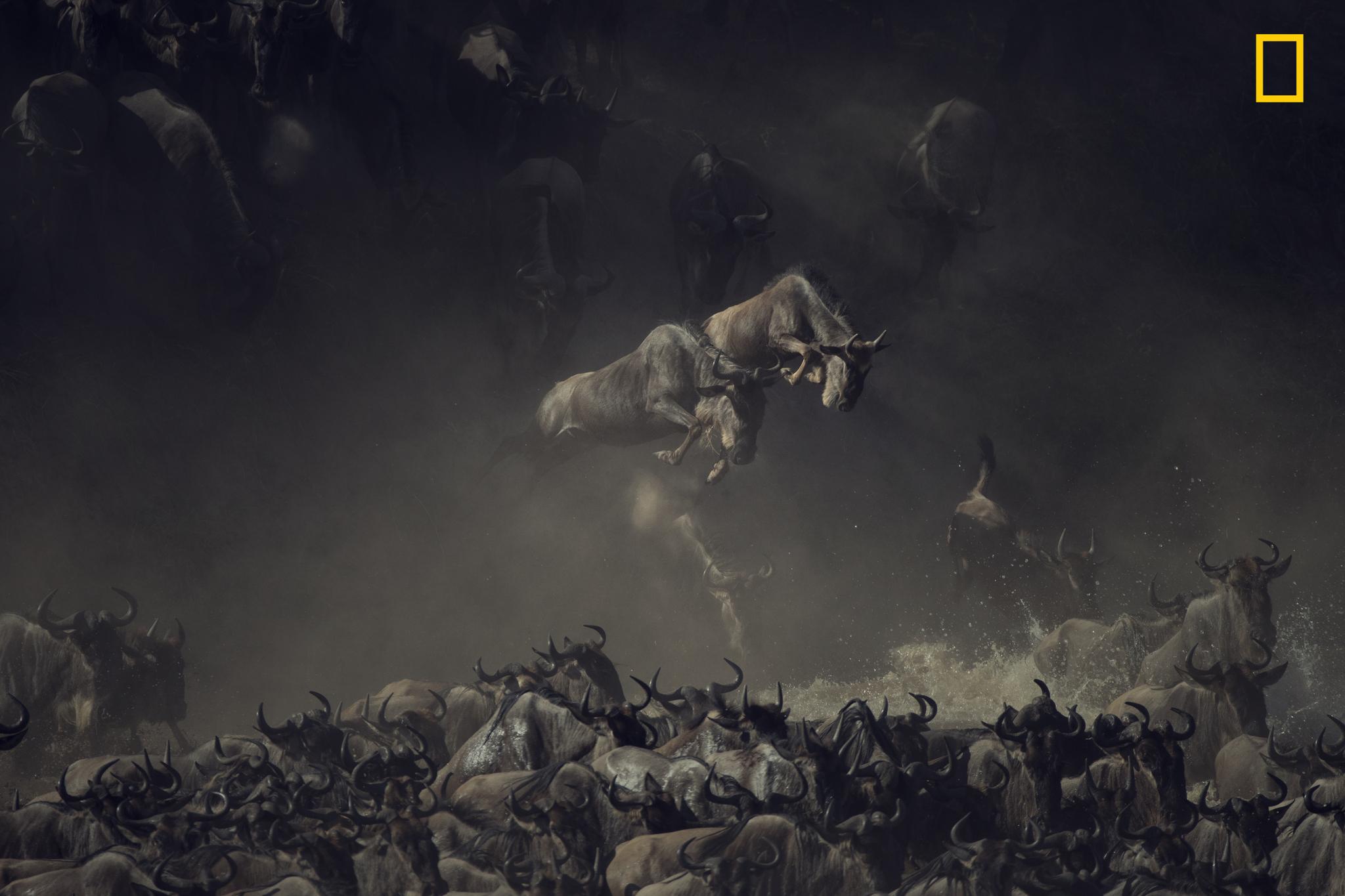 Ñus cruzando el río Mara.