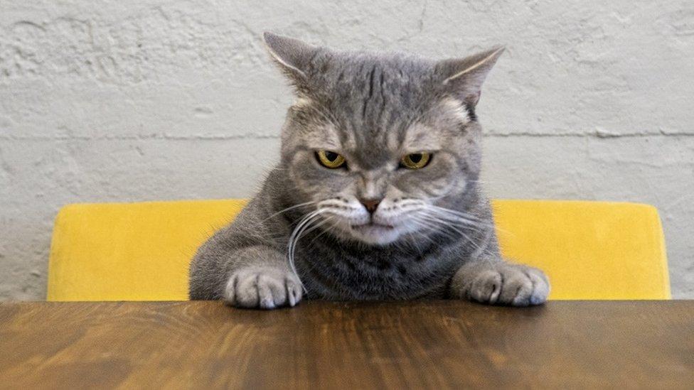 قط غاضب