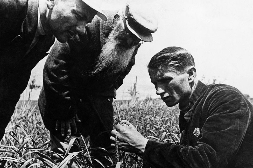 NO USAR / BBC El genetista y agrónomo soviético, cuando era presidente de la Academia Lenin de Ciencias Agrícolas, Trofim Lysenko midiendo el crecimiento de trigo en un campo de granja colectiva cerca de Odessa en Ucrania.