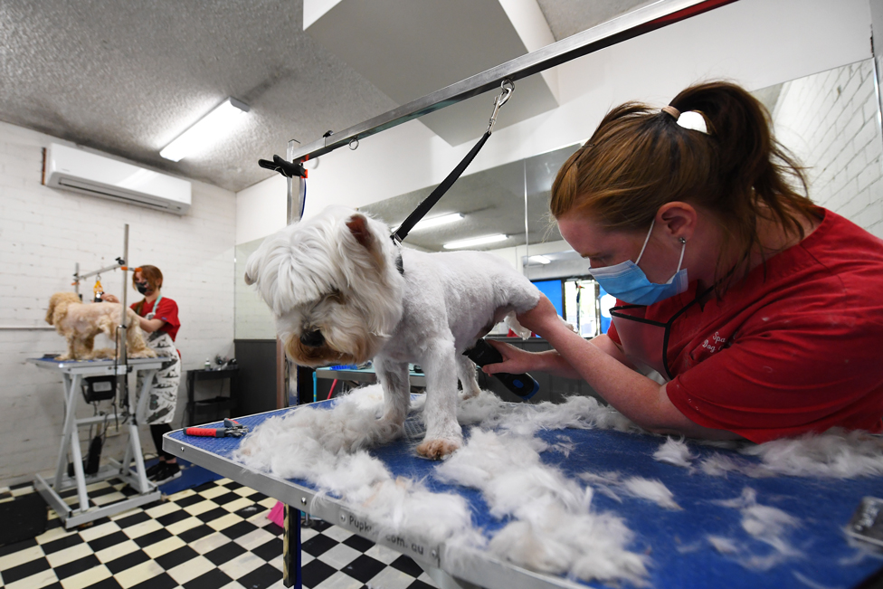 Two dogs get a hair cut