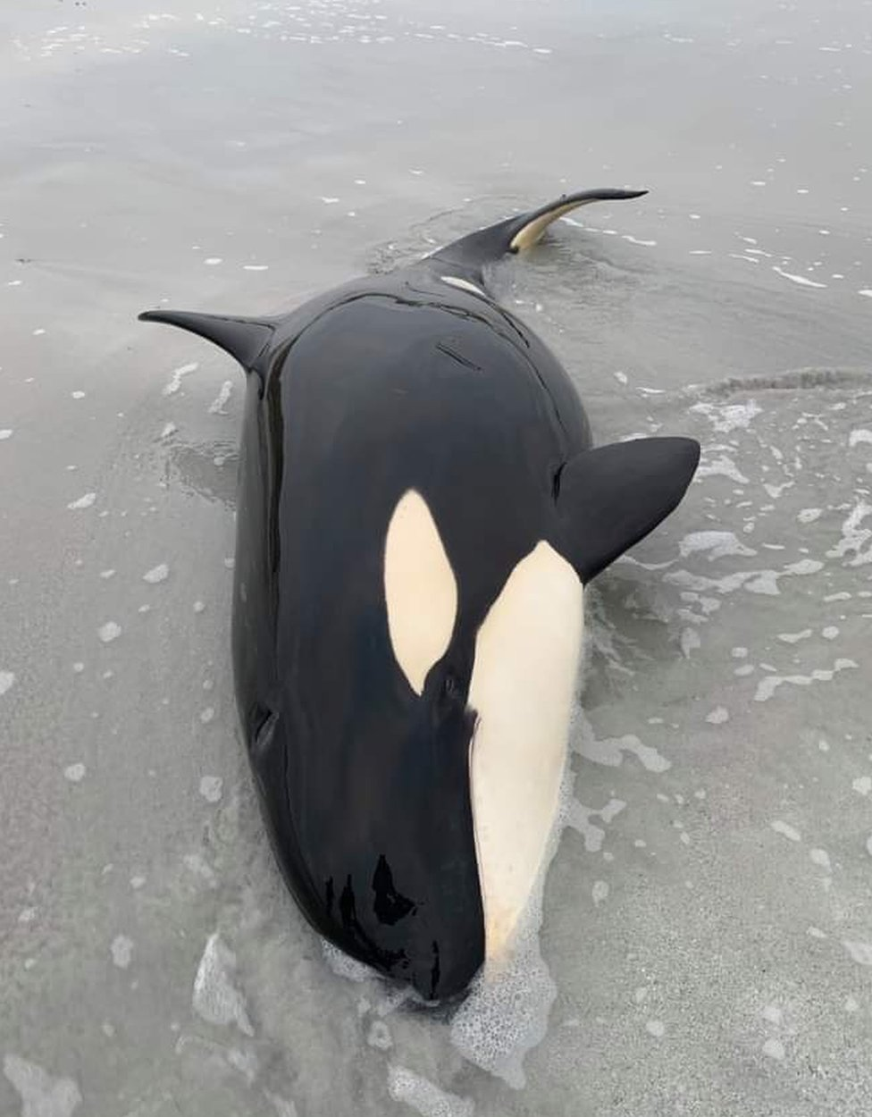Islanders help rescue orca stranded on Orkney beach thumbnail