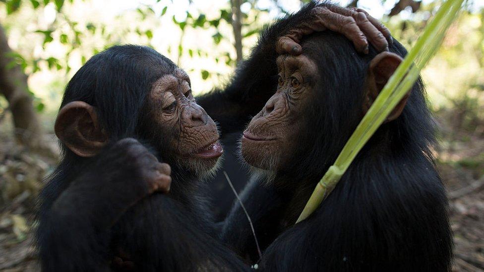 Dos chimpancés