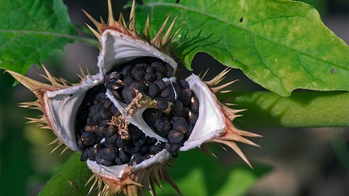 La planta Datura
