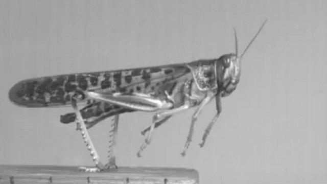 Locust (c) Greg Sutton/University of Bristol
