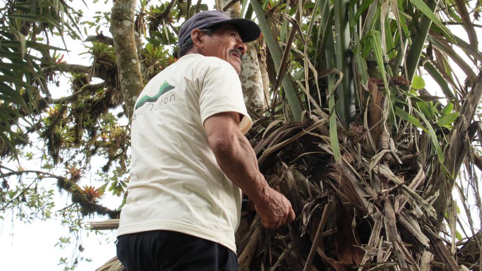 A man harvesting tagua seeds in Ecuador