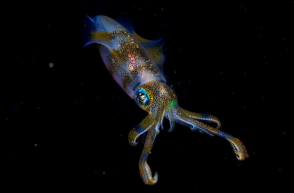 Calamar de Arrecife