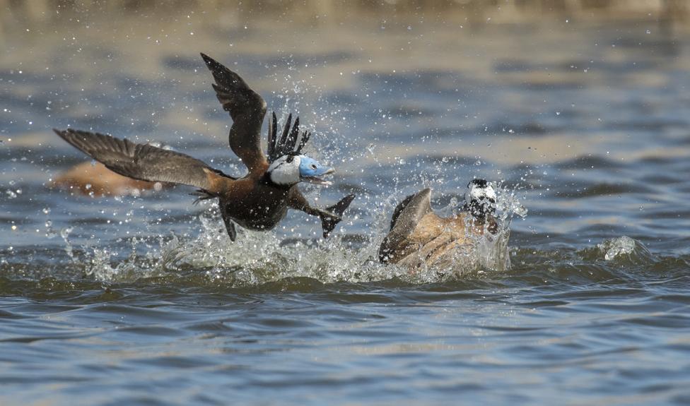 Tuča dve belogave patke