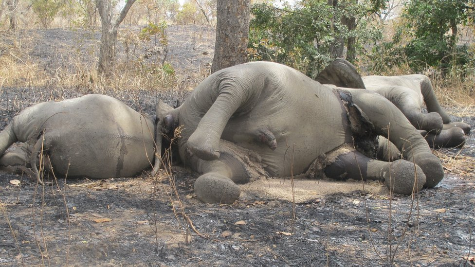 A picture taken on 23 February 2012 shows elephants which have been killed by poachers at Bouba Ndjida National Park in northern Cameroon, near the border with Chad
