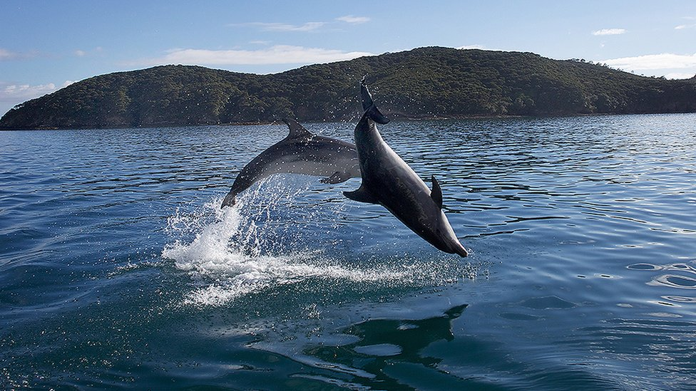 Delfini u Zalivu ostrva