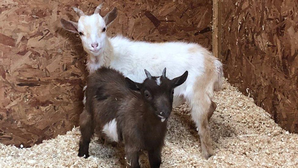 Police investigate Hertfordshire pygmy goat thefts