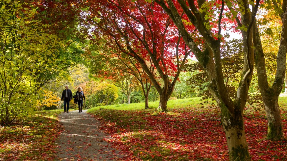 couple walking under Acer trees