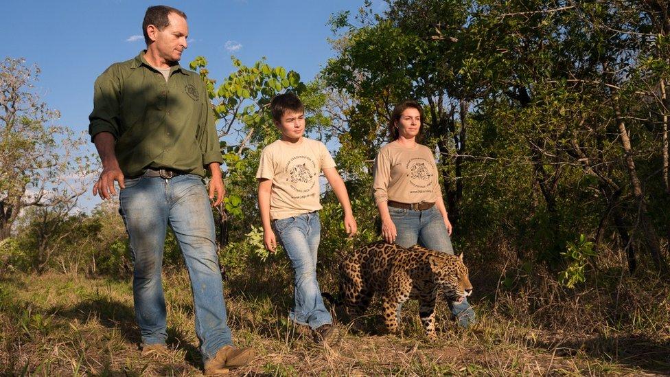 和父母一起帶美洲豹散步
