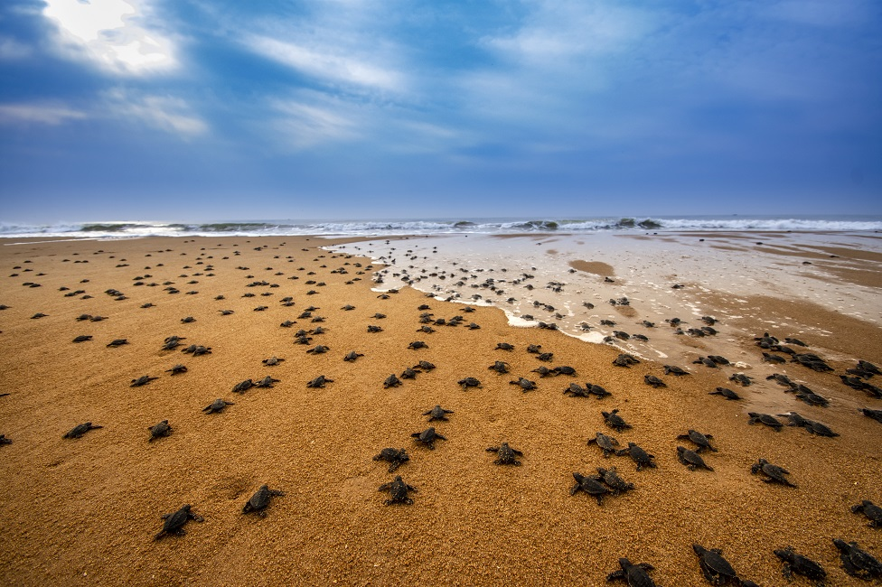 Lots of sea turtles on a beach laying eggs