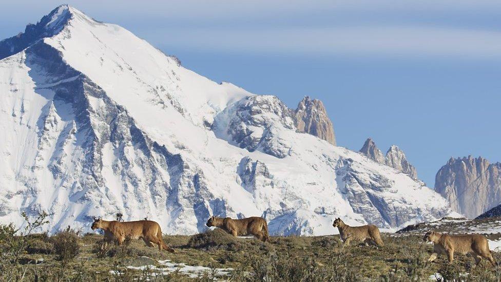 雪山腳下的美洲獅
