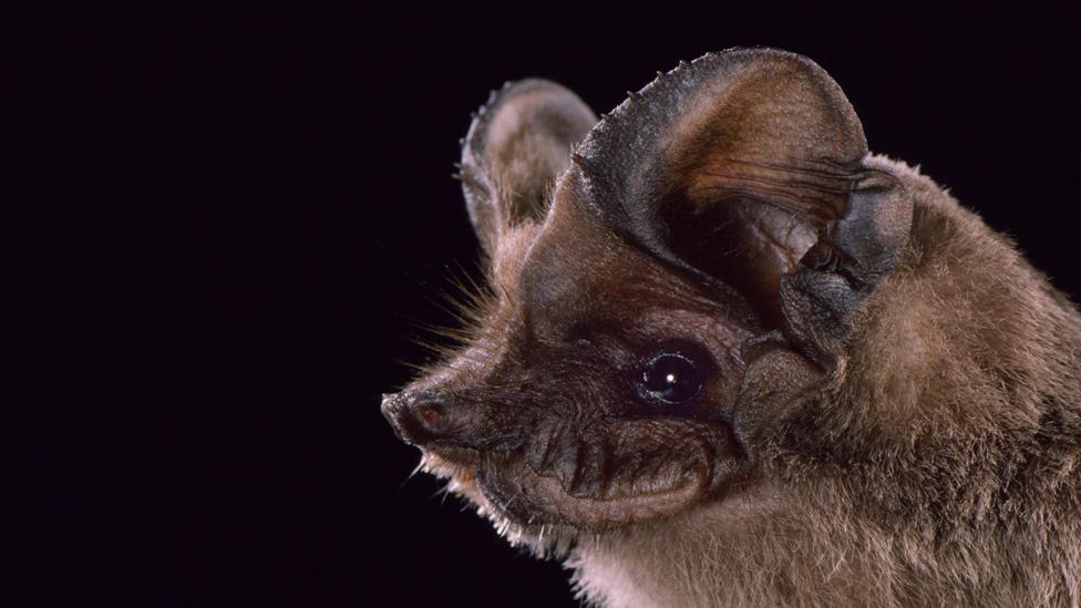 Rostro de un murciélago de cola libre
