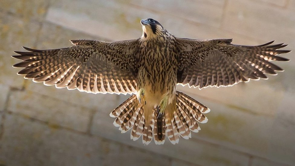 Cathedral peregrines 'buzz'