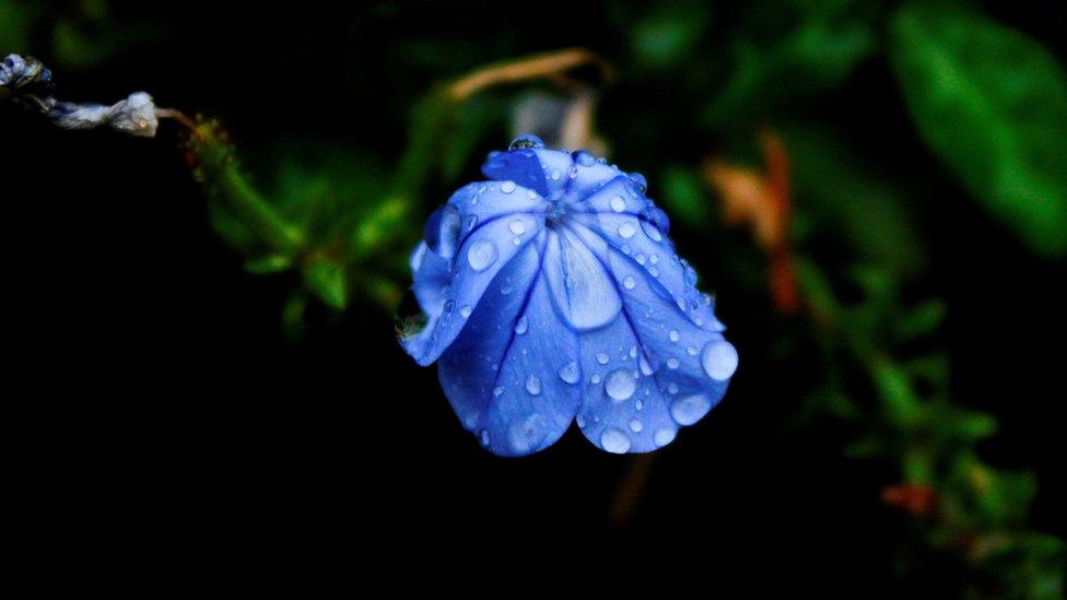 A flower wilting in the rain
