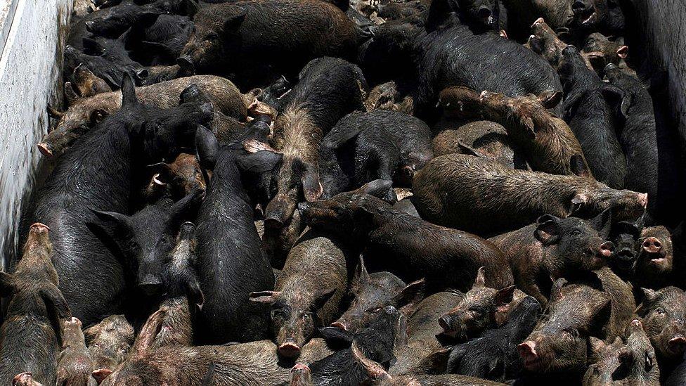 Matanza de cerdos en Egipto