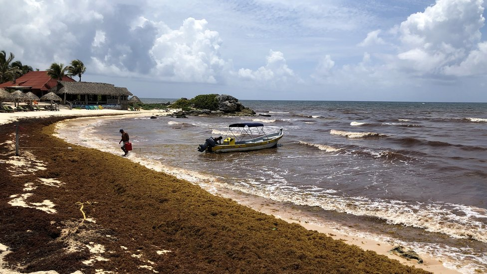 Sargassum, a seaweed-like algae, covers a beach on 15 June