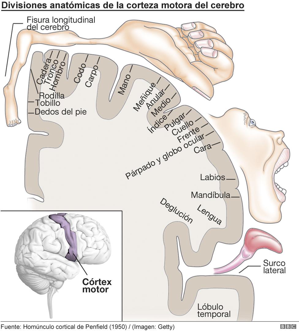 Homúnculo cortical: representación pictórica de las divisiones anatómicas de la corteza motora primaria