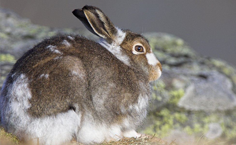 A brown and white hare crouched on some rocks