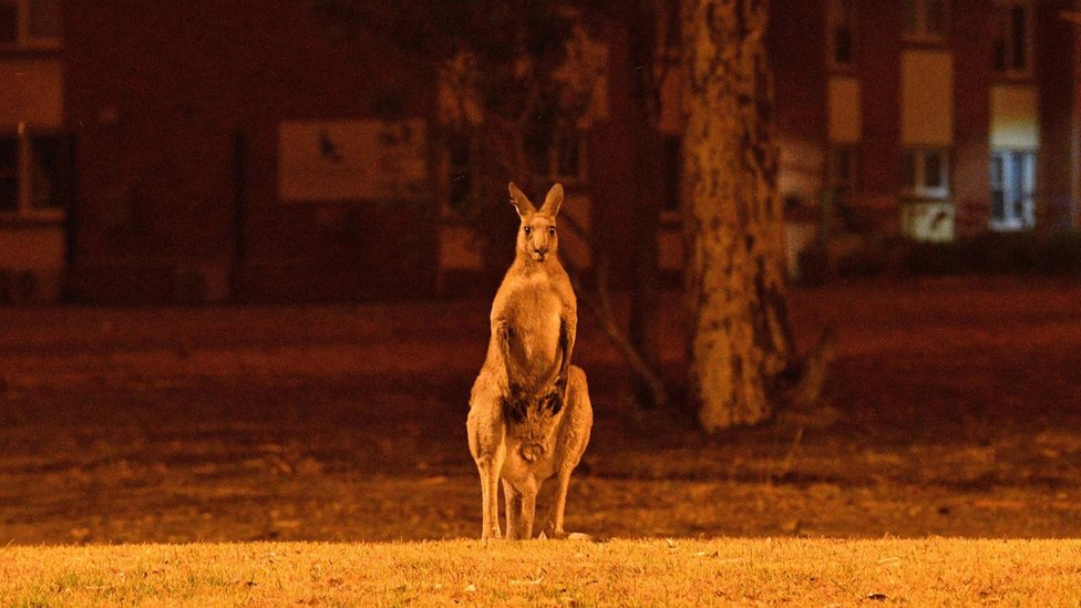 A kangaroo watching bush fires in New South Wales
