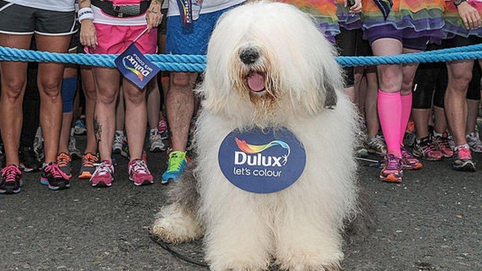 Old English Sheepdog advertising Dulux paint