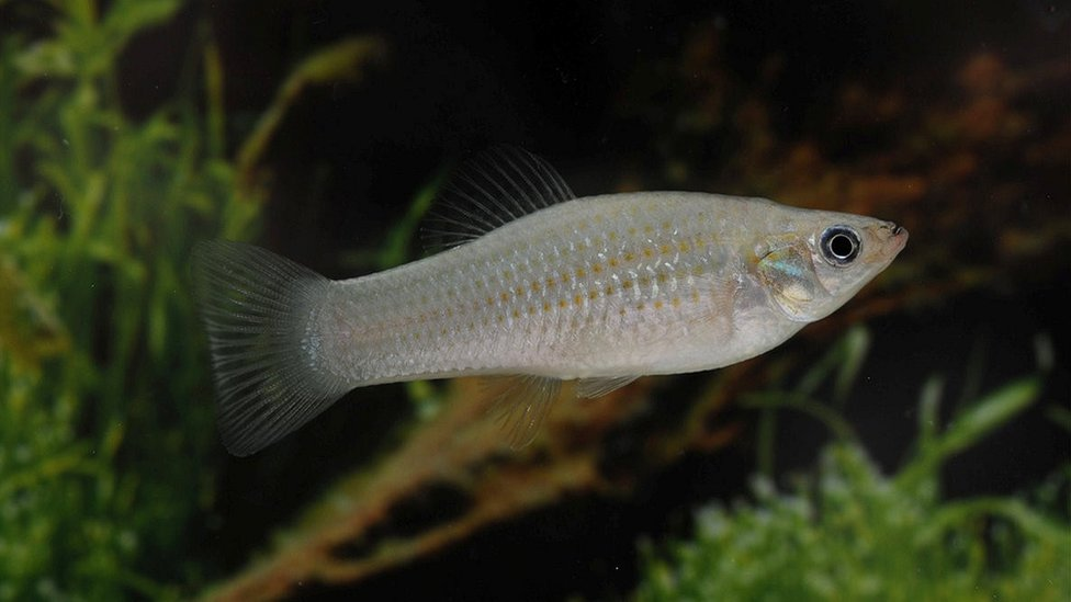 Amazon fish challenges mutation idea